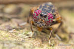 Platystomatidae, Scholastinae by melvynyeo