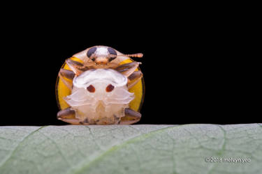 Male ladybird guarding female pupa by melvynyeo