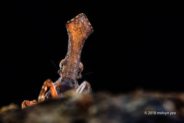 Lantern Bug Nymph by melvynyeo