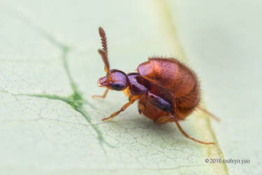 Rove Beetle Zyras sp. by melvynyeo