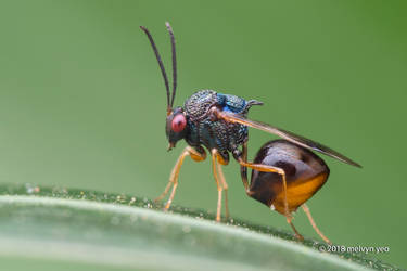 Eucharitidae parasitic wasps by melvynyeo