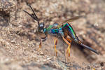 Rainbow parasitoid wasp (Cleonyminae) laying eggs
