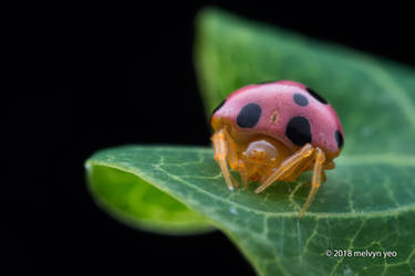 Pink Ladybird Spider (Paraplectana) by melvynyeo