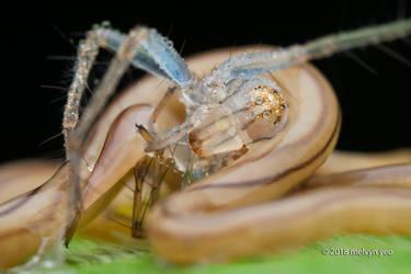 Terrestrial ribbon worm with Lynx prey by melvynyeo