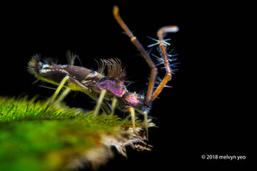 Metallic Purple Springtail by melvynyeo