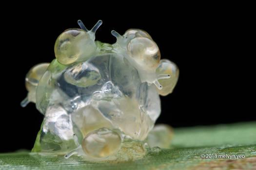 Hatching Snails