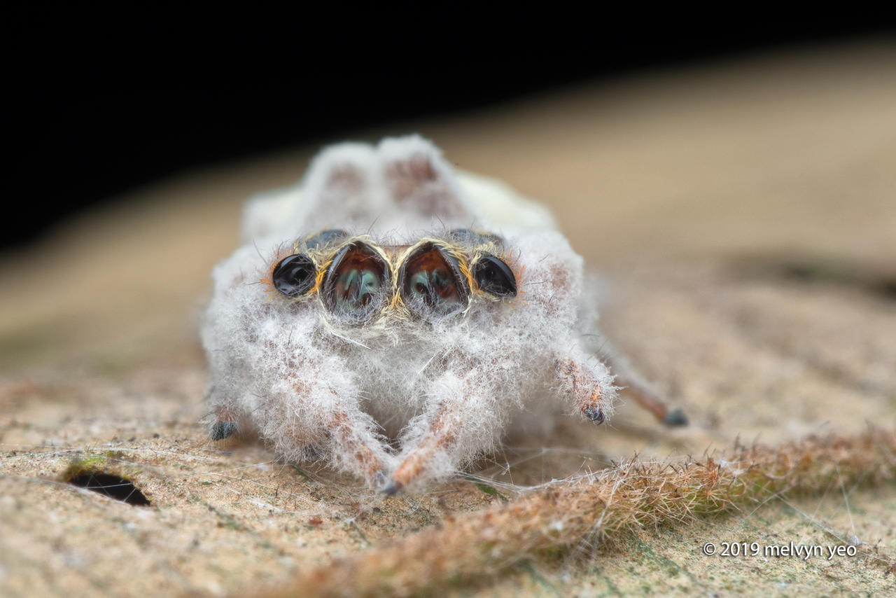 Jumping Spider killed by parasitic fungus by melvynyeo