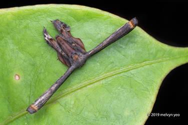 Scoopwing moths, Epipleminae