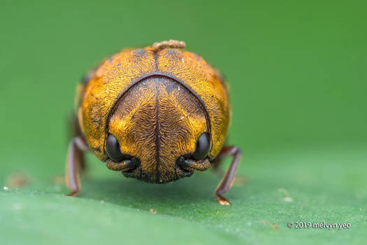 Eucnemidae