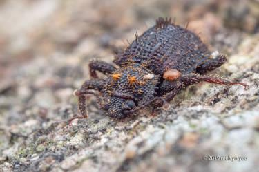 Zopheridae, Hyberis sp.