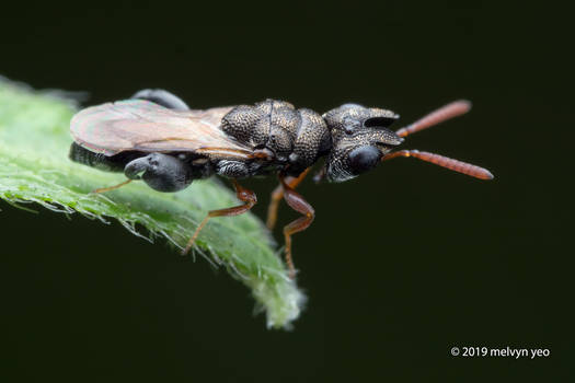 Dirhinus sp. Chalcididae