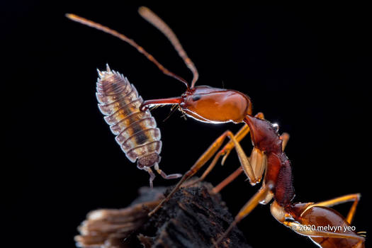 Trap-Jaw Ant with woodlouse prey