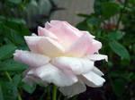Pale Pink Dewey Rose