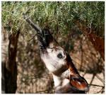 An Okapi's Tongue