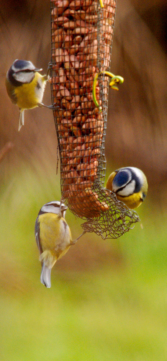 Blue Tits on feeder