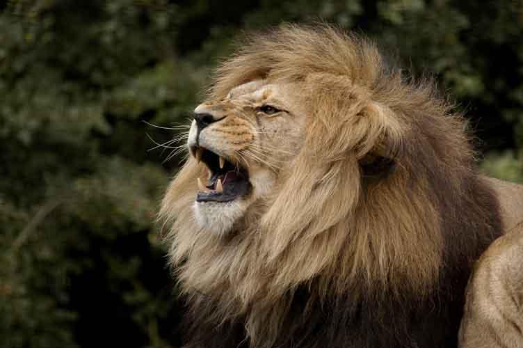 Atlas Lion by shaunthorpe