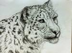 Snow leopard - portrait