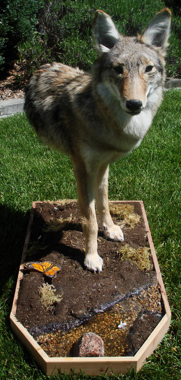 Coyote Half-Mount by Wolfiedude101