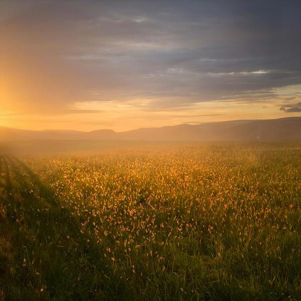 Golden Field Premade Background