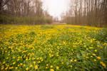Yellow Meadow Stock