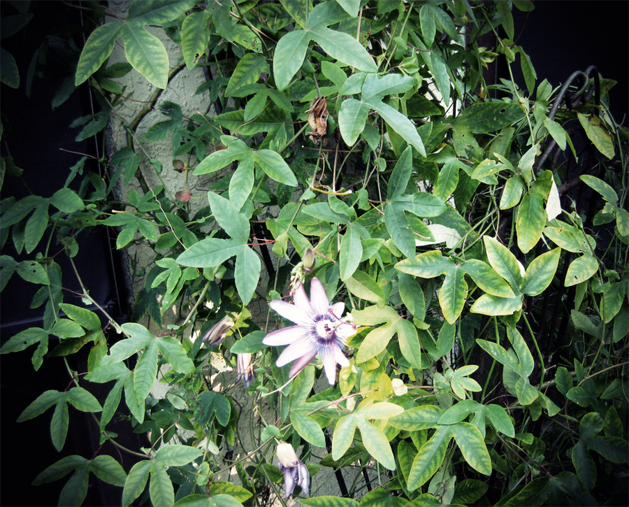 passiflora caerulea by asphycsia on deviantart. Black Bedroom Furniture Sets. Home Design Ideas