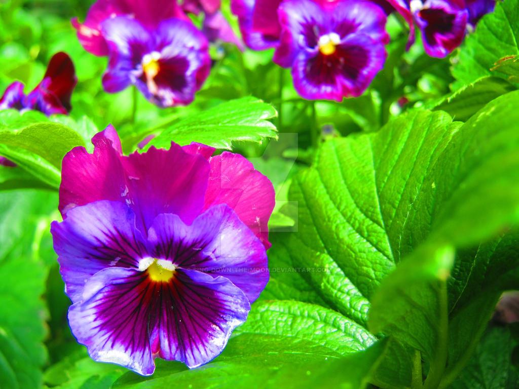 Purple Pansies by Sing-Down-The-Moon