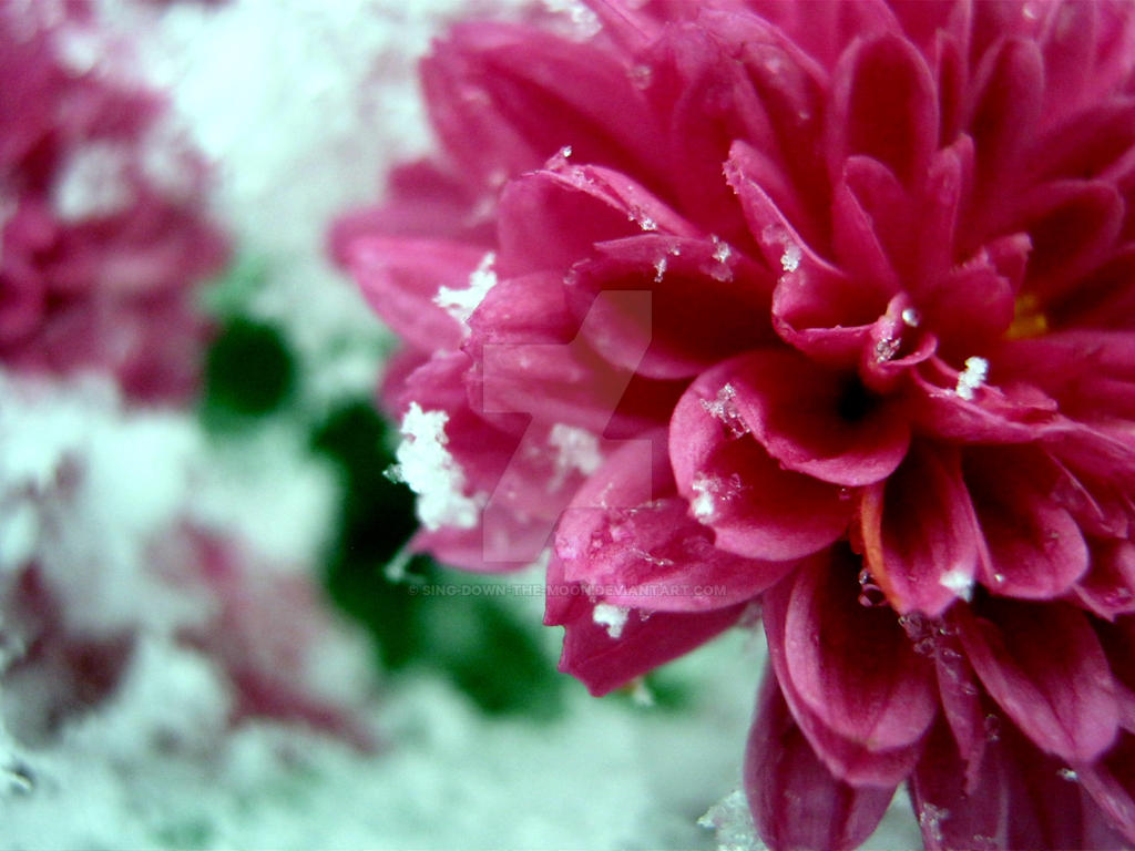 Snowy Pink Chrysanthemum by Sing-Down-The-Moon