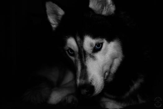 Siberian Husky (_Joythehusky)