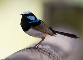 Superb Fairywren by robin-ic