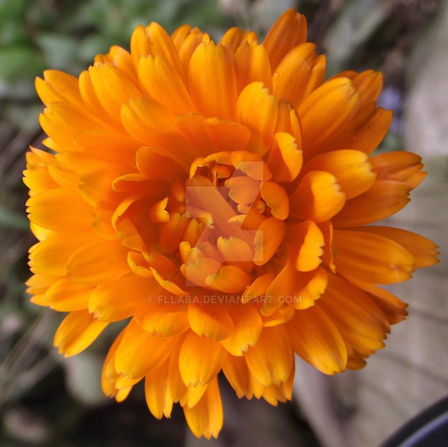 Orange flower by fllaba