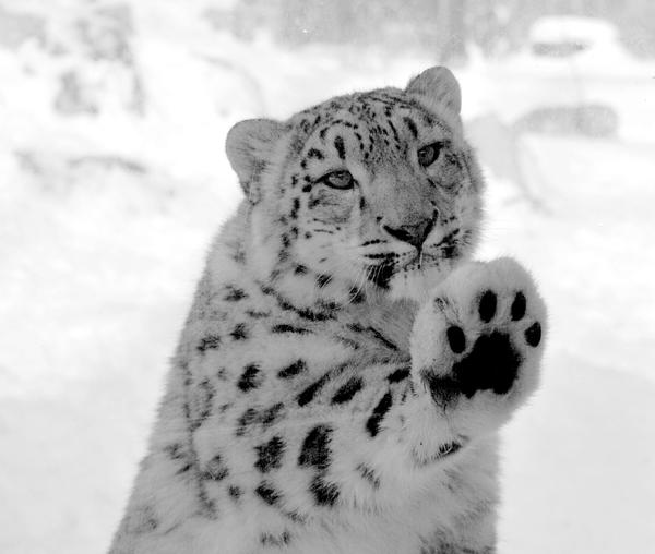 The snow leopard by direct-evul on DeviantArt