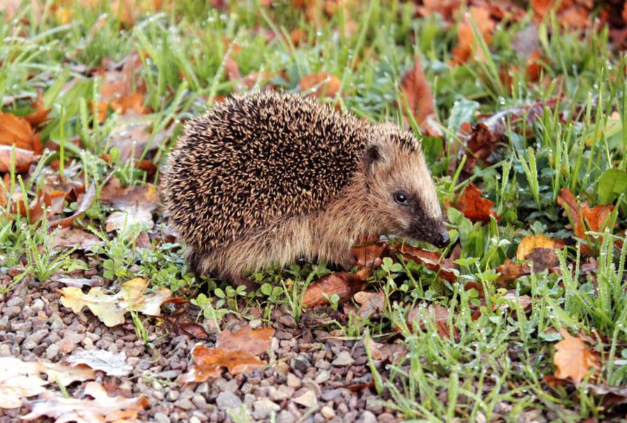 little hedgehog by Ta-moe