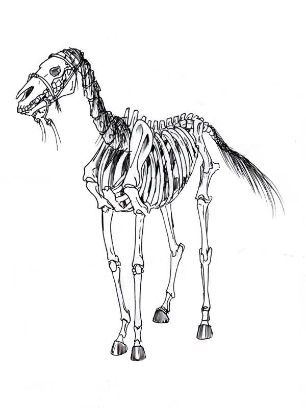 Magnífico Diagrama De Esqueleto Caballo Viñeta - Imágenes de ...