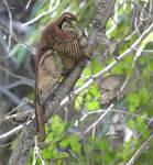 Microraptor and Sinornis (OLD VERSION)