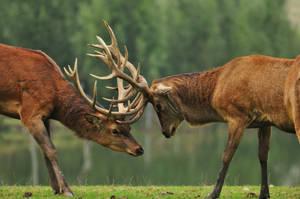 Deer fighting by Pandanosaure