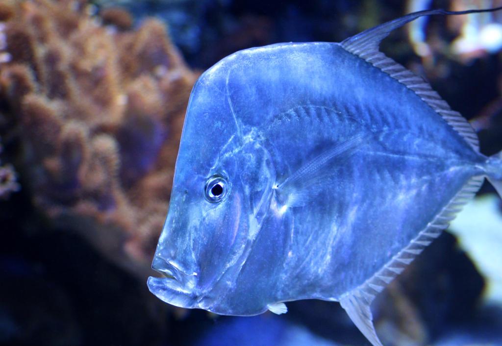 Aquatic Life Blue Fish wallpaper