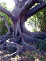 Fig tree by Kaeloth