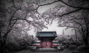 Beyond the Cherry Blossom Trees