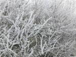 Cactus Frost