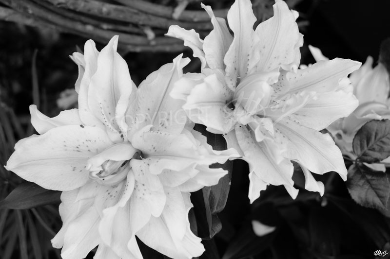 Lilies by LauraHolArt