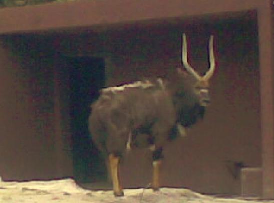 Antelope by LeRosaVare