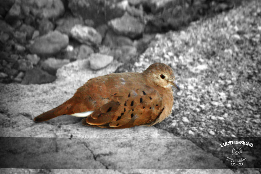 Mourning Dove by trini-raven