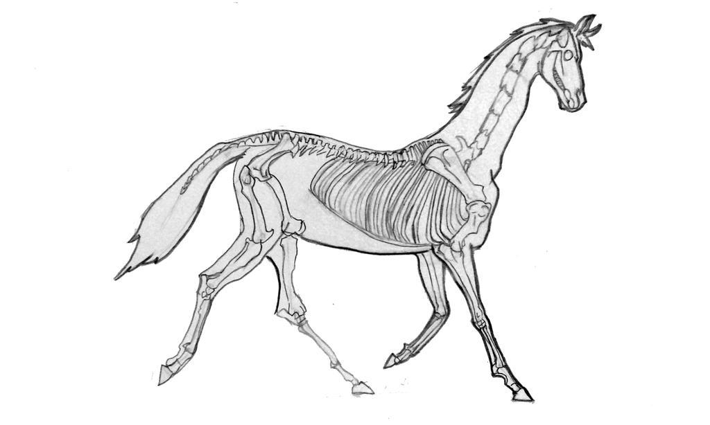 Horse skeletion study by TamamoMae