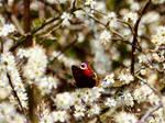 SnowWhite, as Lady Butterfly Likes it, Heidberg .. by derwahrehorst
