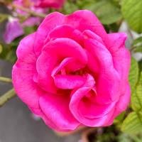 Rosa Gallica, Apotheker-Rose