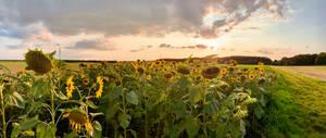 Clouds over a Sunflower Fieldt, late Evening (6)