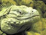 Grand Cayman Iguana: 3