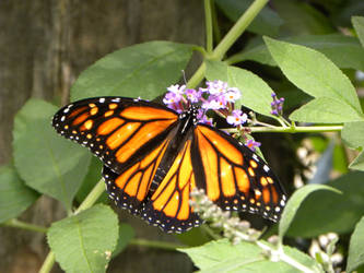 Monarch Butterfly by JennHolton