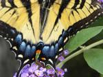 Swallowtail Closeup by JennHolton