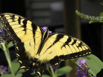 Swallowtail Butterfly by JennHolton